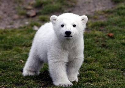 Knut, le célèbre ours polaire est mort Knut1