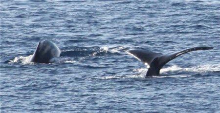 Wale auf Hawaii