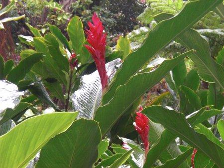 Ingwer auf Hawaii