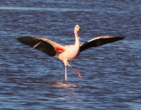Flamingo de James Bolivien