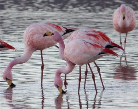 Flamingos de James