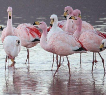 Laguna Colorado, Flamingos de James