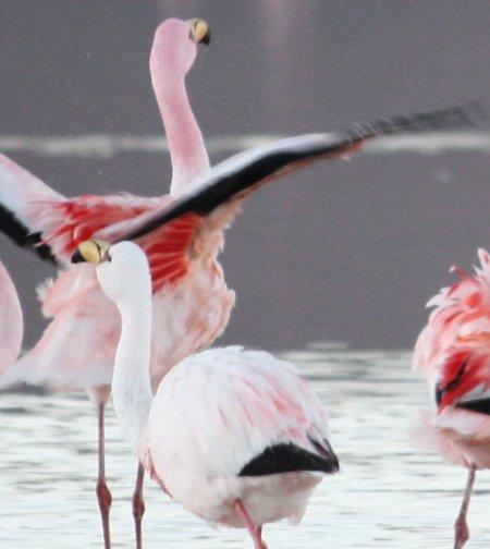Flamingo de James, Bolivien