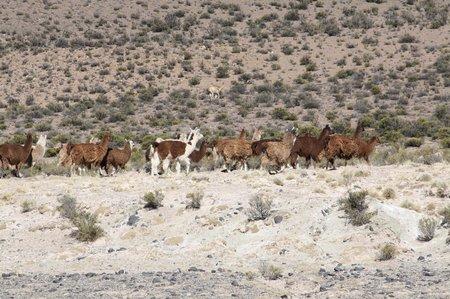 Lamas in der Wildnis