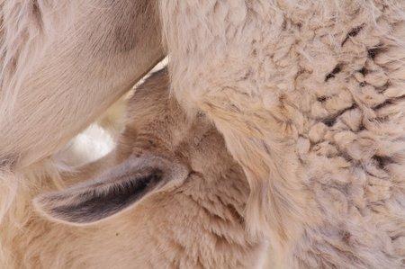 Junges Lama beim Säugen