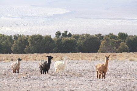 Lamas in allen Farben