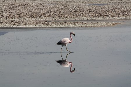 Flamingos in Chile