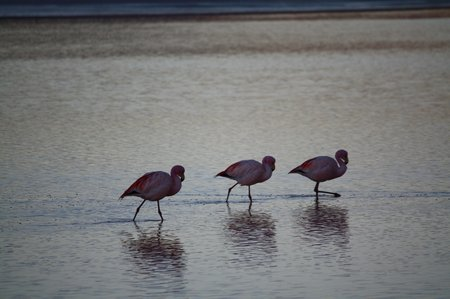 Flamingos, Laguna Colorado, Bolivien