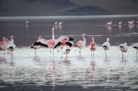 Laguna Colorado, Bolivien, Flamingo de James