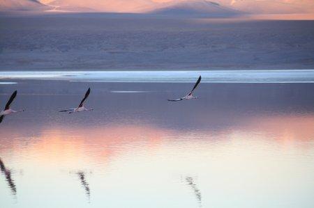 Laguna Colorado, Bolivien, Flamingos
