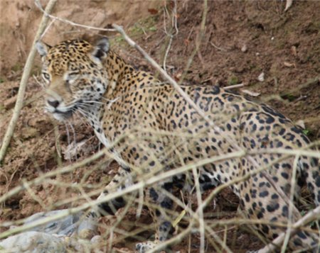 Jaguar im Madidi Nationalpark, Bolivien