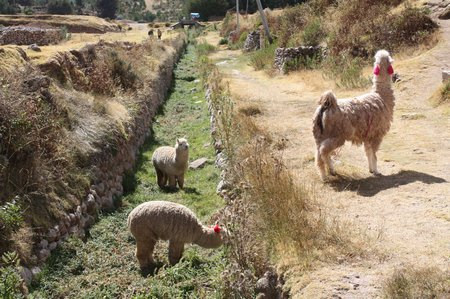 Alpacas und Lama