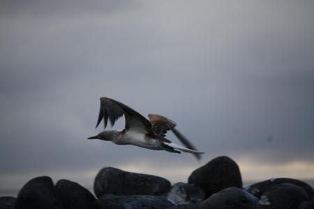 Blaufußtölpel im Flug