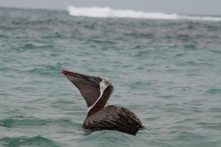 Braune Pelikan Galapagos