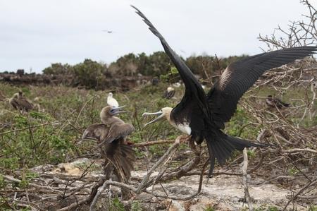 Fregattvogel auf den Galapagos