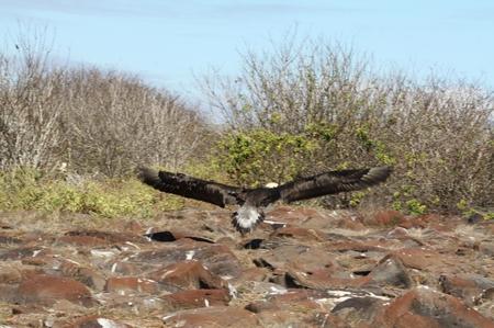 Galapagos-Albatross