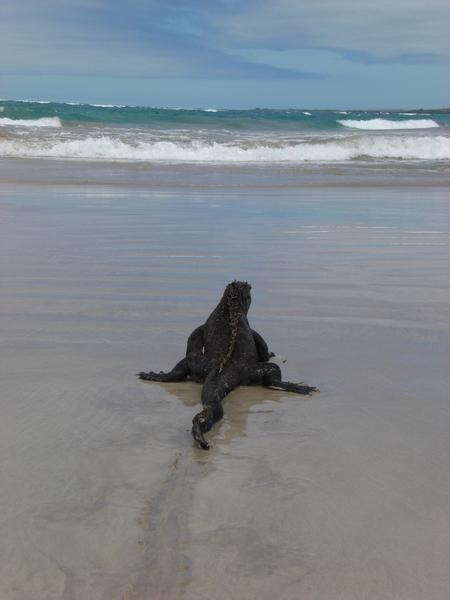 Mariner Leguan auf den Galapagos Inseln