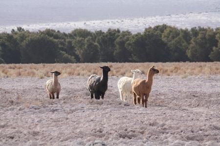 Lamas Südamerika