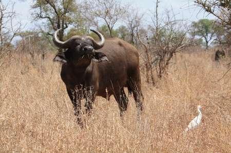 Büffel im Krüger Park