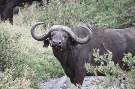 Büffel in der Serengeti