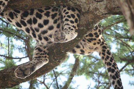 Der Leopard in der Serengeti