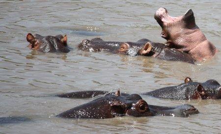 Hippo-Maul