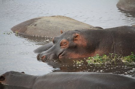 Hippo-Nilpferd