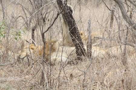 Löwen im Krüger Nationalpark