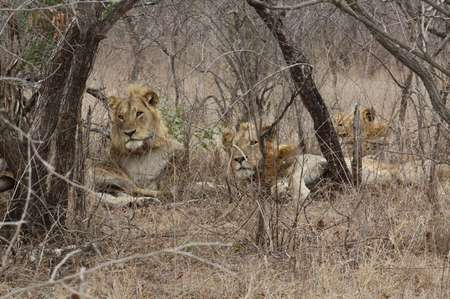 Löwen im Krügernationalpark
