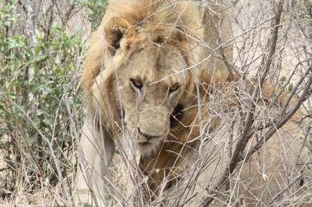Löwen im Krüger National Park