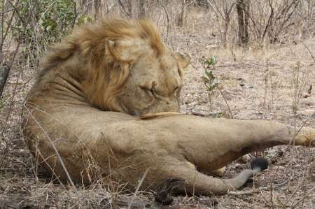 Löwe im Krüger National Park