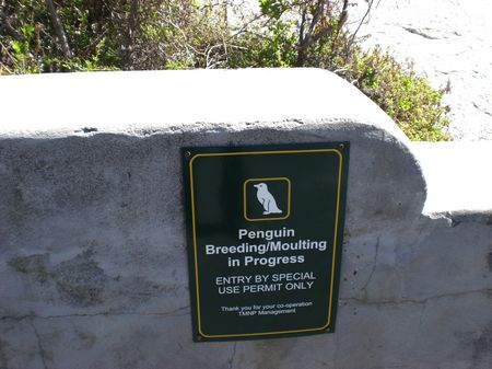 Pinguine in Boulders Bay