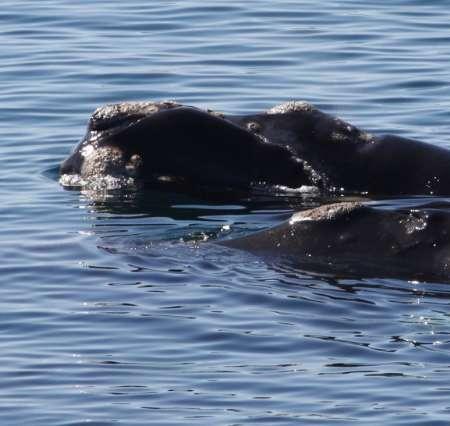 Seepocken auf einem Glattwal