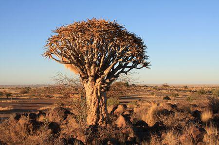 Köcherbaum, Namibia