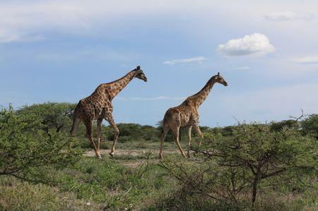Giraffen im Etosha Park