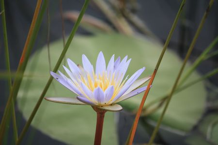 Lilie im Okavango Delta