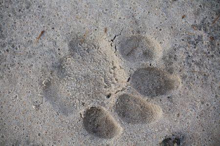 Löwen Fußspure