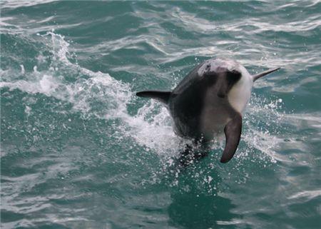 Dusky Dolphins in Neuseeland