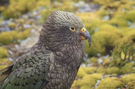 kea in Neuseeland